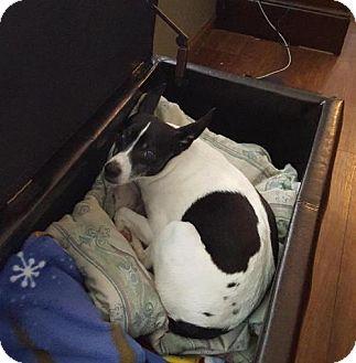 Rat Terrier Dog for adoption in Rochester, Minnesota - Lucky