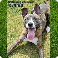 Adopt A Pet :: A076987 - Grovetown, GA