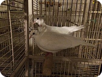 Ringneck for adoption in Orlando, Florida - Beany