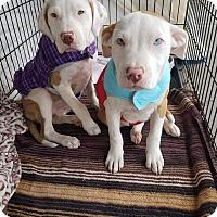 Adopt A Pet :: Spice - Las Vegas, NV
