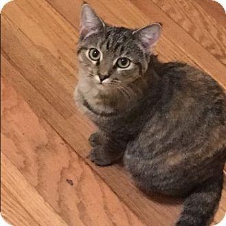 Domestic Shorthair Kitten for adoption in Covington, Kentucky - Pebbles