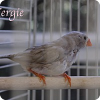 Adopt A Pet :: Fergie - Bradenton, FL