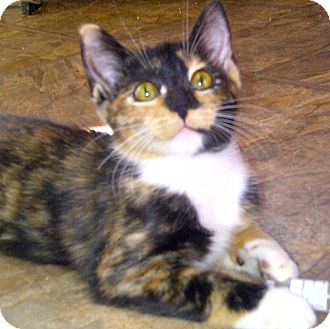 Calico Kitten for adoption in Escondido, California - Kiki