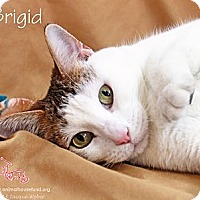 Adopt A Pet :: Brigid - St Louis, MO