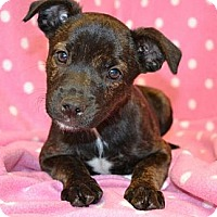 Adopt A Pet :: *Alice - PENDING - Westport, CT