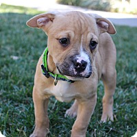 Adopt A Pet :: Marshall - Atlanta, GA