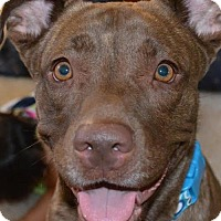 Adopt A Pet :: Cocoa nala, a Young lab mix - Arlington, WA