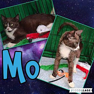 American Shorthair Kitten for adoption in Scottsdale, Arizona - Mo