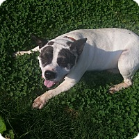 Bulldog/Australian Shepherd Mix Dog for adoption in Bedminster, New Jersey - Butterbean