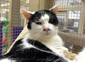 Domestic Shorthair Cat for adoption in Wilmington, Delaware - Geri