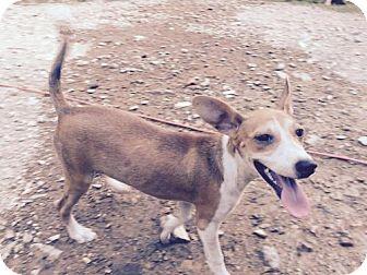 Terrier (Unknown Type, Medium) Mix Dog for adoption in Waldron, Arkansas - CROIX (please see video) VEGA BARKLEY
