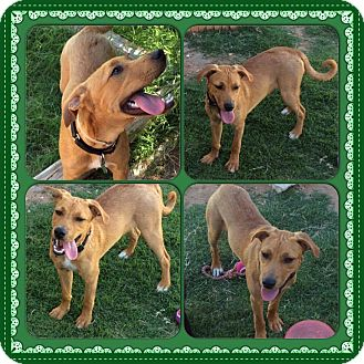 Labrador Retriever/Hound (Unknown Type) Mix Dog for adoption in Austin, Texas - Ziggy