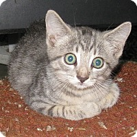 Domestic Shorthair Kitten for adoption in Somerset, Kentucky - Dexter