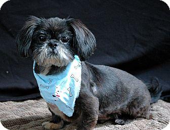 Shih Tzu Dog for adoption in Lawrenceville, Georgia - Pablo