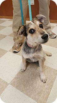 Blue Heeler/Terrier (Unknown Type, Medium) Mix Puppy for adoption in Kingman, Kansas - Toots