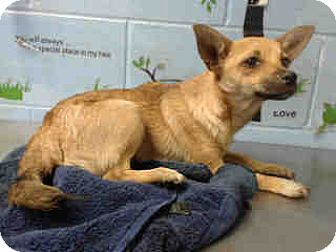 Chihuahua Mix Puppy for adoption in San Bernardino, California - URGENT ON 10/26 San Bernardino