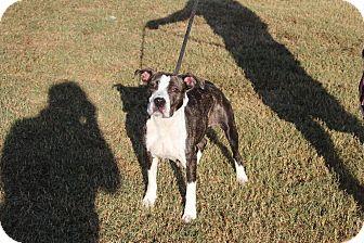 Boxer Mix Dog for adoption in Washington, D.C. - Cranberry