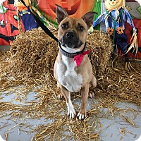 Boxer/Staffordshire Bull Terrier Mix Dog for adoption in Concord, North Carolina - Ripley