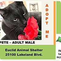 Domestic Shorthair Cat for adoption in Euclid, Ohio - Pete