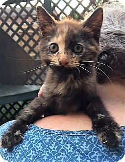 Domestic Shorthair Kitten for adoption in Franklin, West Virginia - Gypsy