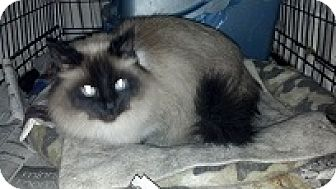 Siamese Cat for adoption in Minneapolis, Minnesota - Vanessa