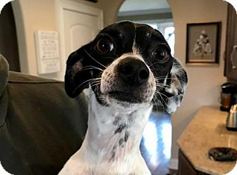Chihuahua/Rat Terrier Mix Dog for adoption in richmond, Virginia - TY