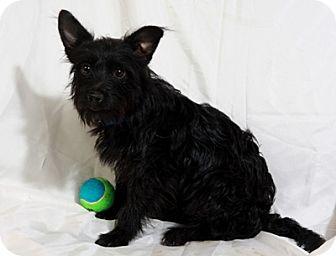 Yorkie, Yorkshire Terrier/Havanese Mix Dog for adoption in St. Louis, Missouri - Puck