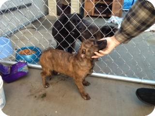 Boxer/Pit Bull Terrier Mix Puppy for adoption in Seattle, Washington - Rosie