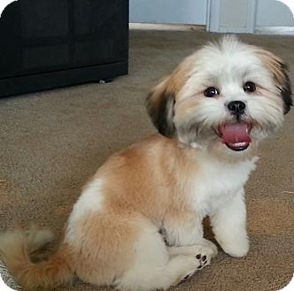 Shih tzu westie west highland white terrier mix puppy for adoption in
