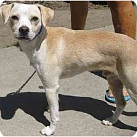 Whippet/Chihuahua Mix Puppy for adoption in Marina del Rey, California - Romeo