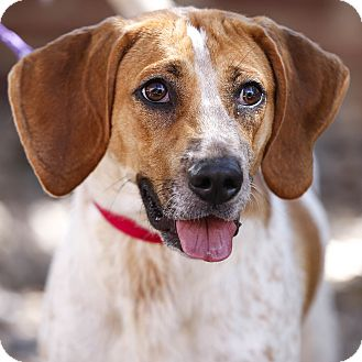 Coonhound/Hound (Unknown Type) Mix Dog for adoption in Kettering, Ohio - Amy