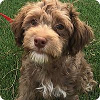 Adopt A Pet :: Chewie - Santa Ana, CA
