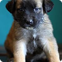 Adopt A Pet :: Captain America - Waldorf, MD