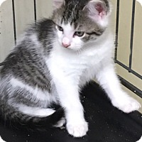 Domestic Shorthair Kitten for adoption in Devon, Pennsylvania - Pi単ata