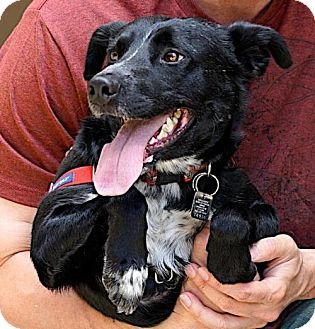 Border Collie/Terrier (Unknown Type, Medium) Mix Dog for adoption in Westminster, Colorado - Ducky - special needs