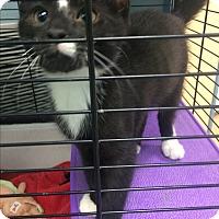 Adopt A Pet :: Pepe Le Pew - Richboro, PA
