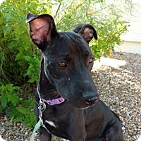 Adopt A Pet :: Nisha - Tucson, AZ