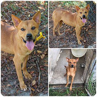 Carolina Dog Mix Dog for adoption in Bishopville, South Carolina - Grady