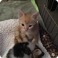 Domestic Shorthair Kitten for adoption in Westminster, California - Beau