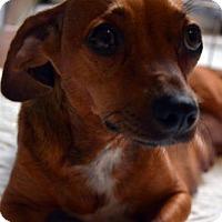 Adopt A Pet :: Kula, a dachshund mix - Arlington, WA