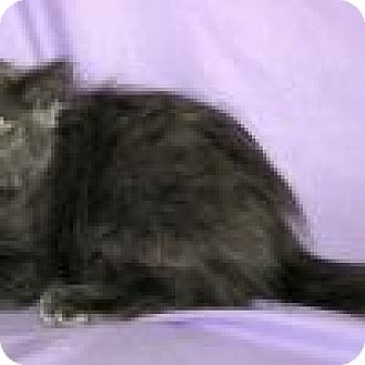 Domestic Longhair Cat for adoption in Powell, Ohio - Merlot