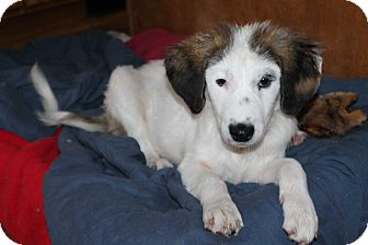 Great Pyrenees/Collie Mix Puppy for adoption in Naperville, Illinois - Baxter
