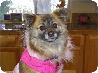 Pomeranian Mix Dog for adoption in Hesperus, Colorado - CELINE