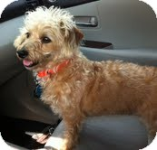 Dachshund/Poodle (Miniature) Mix Dog for adoption in Boulder, Colorado - Millie