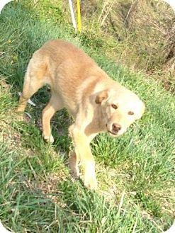 Golden Retriever/Labrador Retriever Mix Dog for adoption in Lancaster, Ohio - Samantha