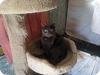 Domestic Shorthair Cat for adoption in Sherman Oaks, California - Freeway