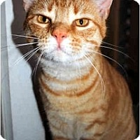 Domestic Shorthair Cat for adoption in Thibodaux, Louisiana - Scarlett FE1-7522