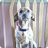 Adopt A Pet :: Bella Blue  Chiweenie - Marlton, NJ