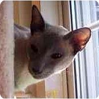 Adopt A Pet :: Skylar - Arlington, VA