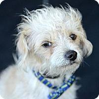Adopt A Pet :: Valentino - Plano, TX